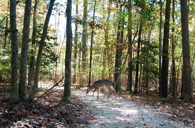 Greensprings Interpretive Trail Deer